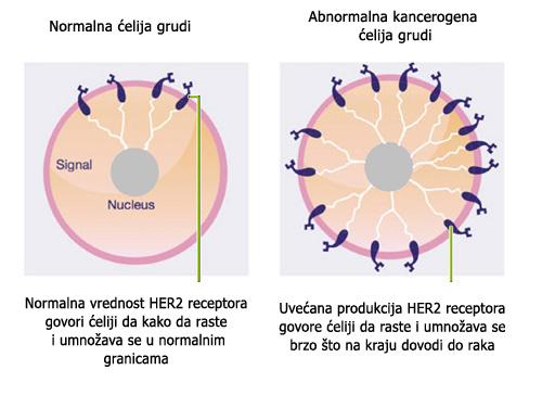 Rak dojke kao hormonski zavisni tumor direktnoj je vezi sa povećanjem estrogena. Redukcijom estrogena smanjuje se rizik i razvoj ove bolesti.