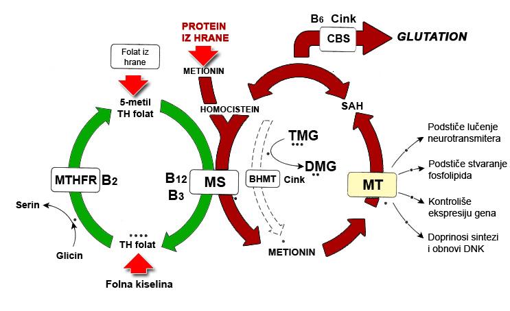 Homocistein kao tumor marker. Lečenje raka sirovom hranom.