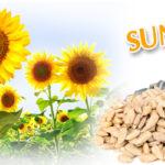 Suncokret – hrana, grickalica ili lek